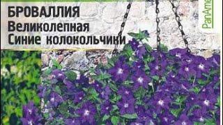 видео Броваллия. Неприхотливое растение для сада.