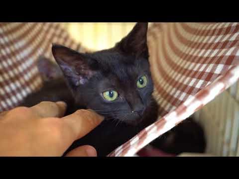 黒い子猫が人の手に慣れてくるまでKitten getting used to a human hand