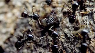 アリがアブラムシのケツにキスをするよ。 thumbnail