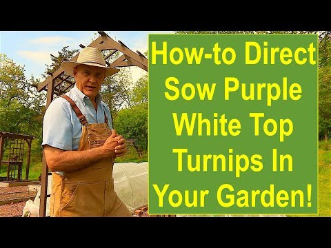 Tips and Ideas on How-to Direct Sow Purple Top White Globe Turnips in Your Vegetable Garden