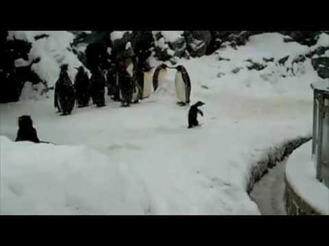 Happiest Penguin Ever - Surfin Bird