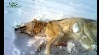Ат-Башы районунун тургуну бир убакта дароо 4 карышкырды атып өлтүрдү