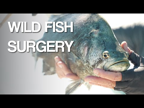 Catching WILD TRIPLETAIL FISH To Perform SURGERY!