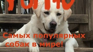  ТОП10 САМЫХ ПОПУЛЯРНЫХ ПОРОДЫ СОБАК  Открытие канала!!!! Первое видео Собаки . ТВ 
