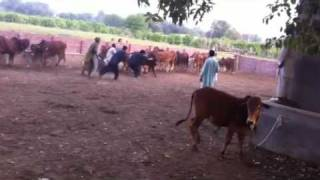 Sahiwal breed cattle farming
