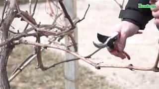 Обрезка неукрывного винограда весной. Как обрезать виноград?