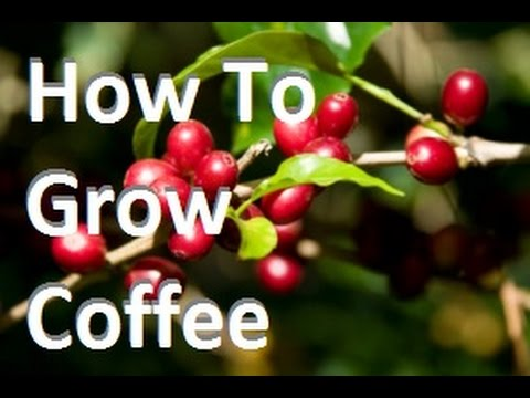 How To Grow Coffee In Containers at Home! Complete Growing G
