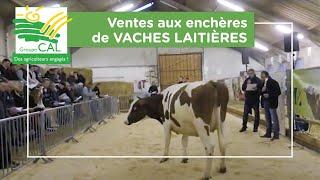 Ventes aux enchères de vaches laitières