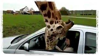 ТОП ПРИКОЛЫ С ЖИВОТНЫМИ | TOP FUN WITH ANIMALS #605