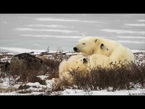 Churchill Polar Bears 2017