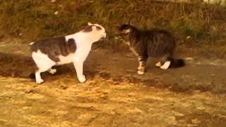 Коты петухи