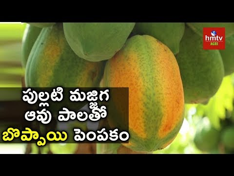 Papaya Cultivation with Buttermilk and Cow Milk | hmtv Agri
