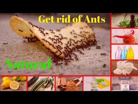 How to Get Rid of Ants Fast Naturally | 10 Best Ways to Get Rid of Ants | Rise Health