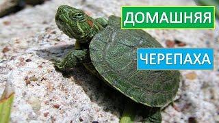 Домашняя  черепаха. Красноухая  черепаха.