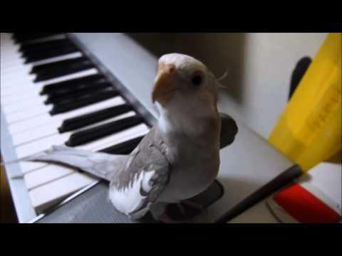 "Сockatiel Singing My Neghbor Totoro; Попугай корелла поет саундтрек  ""Мой сосед Тоторо"""