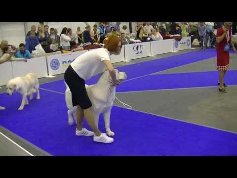 Central Asian Ovcharka Euro dog show 2017 in Kiev Ukraine