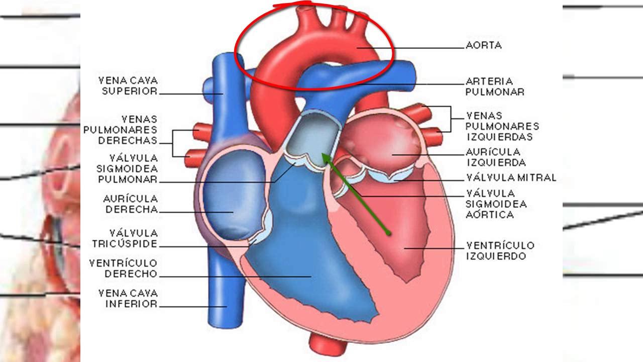 Anatomía del corazón y circulación mayor y menor - YouTube