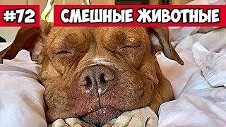 Смешные животные - питбули | Bazuzu Video ТОП подборка ноябрь 2017