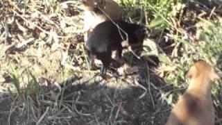 Spunky Little Min Pin Pups (miniature Pinscher)