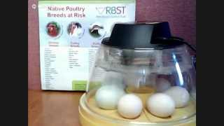 RBST | Rare Breed Egg Setting | Day 0