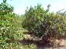 Plantaciones de limon Persa,Bagaces en Costa Rica