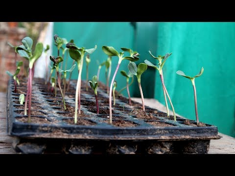 how-to-grow-sunflower-from-seeds-ii-summer-flowers