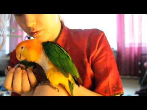 Adult caique meets an abandoned caique baby