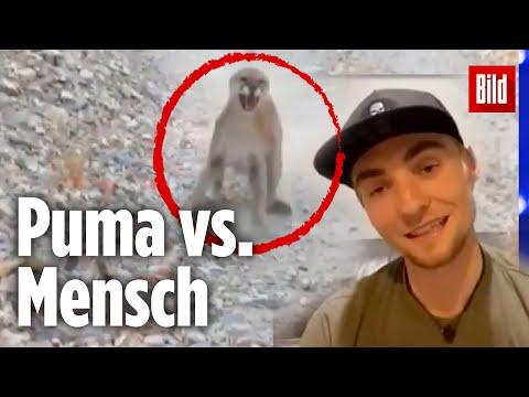Puma verfolgt 26-jährigen Wanderer – er entkommt dank Zufall