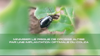 Minimiser le risque grosse altise par une implantation optimale du colza