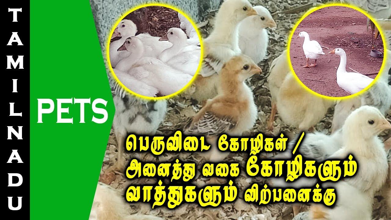 பெருவிடை கோழிகள் | அனைத்து வகையான கோழிகளும் வாத்துகளும் விற்பனை | Tamilnadu Pets | Tamil
