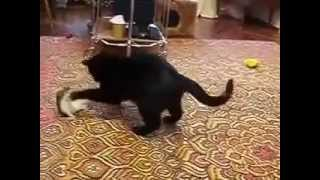 cat plays with weasel