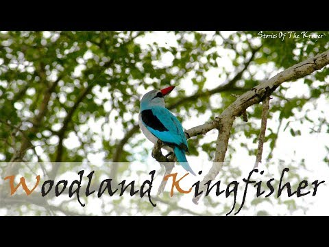 Woodland Kingfisher Bird Call | Stories Of The Kruger