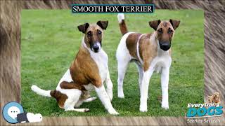 Smooth Fox Terrier  Everything Dog Breeds