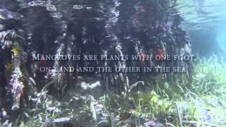 Snorkeling the Mangroves of St. John, United States Virgin Islands- GoPro HD