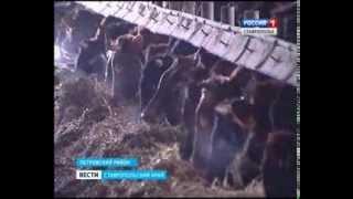 Ставропольские аграрии взялись за нерентабельный откорм бычков(Что заставляет ставропольских крестьян заниматься невыгодным производством?, 2013-12-02T16:36:21.000Z)