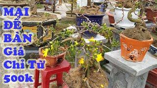 Báo Giá Mai ngày 19 tháng chạp - Bonsai Mai mini Giá chỉ từ 500k- Liên hệ Chú 7 Lộc 0866 726 457