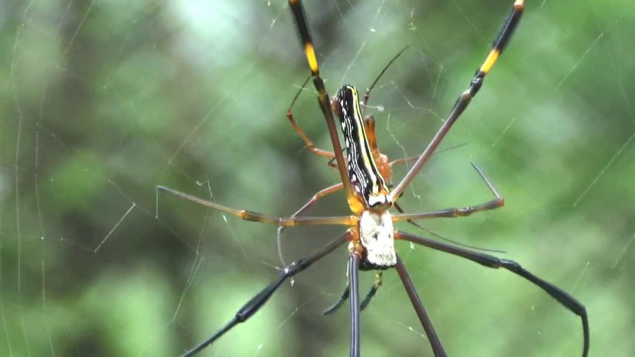 spider mating golden silk orb weavers nephila giant wood spider