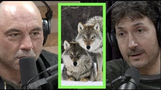 A Pack of Wolves Came After Glenn Villeneuve | Joe Rogan