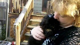 Black Shih-Tzu puppy