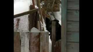 В Рыбинске появилась агрессивная собака