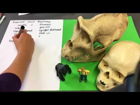 Human V Gorilla Skull Anatomy Youtube