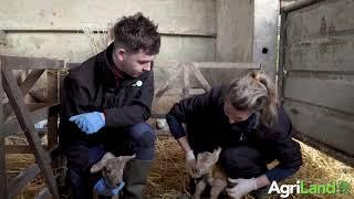 初乳的益处以及如何喂养新生儿的羊羔