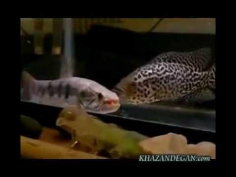 Freshwater Wolf Fish Vs Jaguar Cichlid Youtube