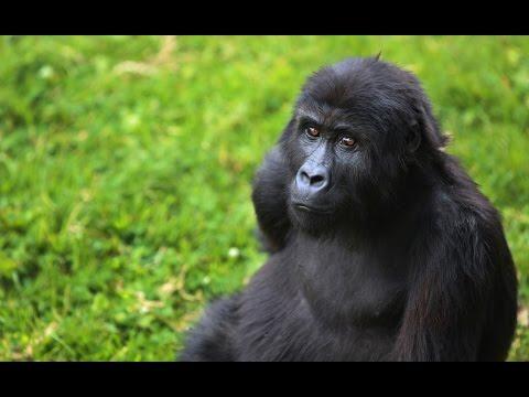 Detroit Zoo | Gorilla Rehabilitation and Conservation Education (GRACE)