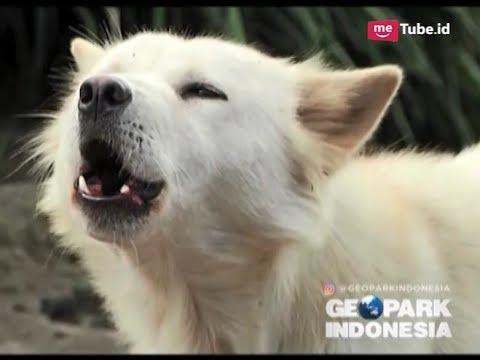Lucunya Anjing Kintamani Hewan Asli Pulau Bali Yang Diakui Dunia Geopark Indonesia 13 01 Youtube