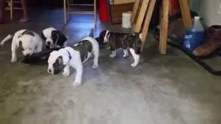 American Bulldog Puppies Available In Kansas City- Part 2