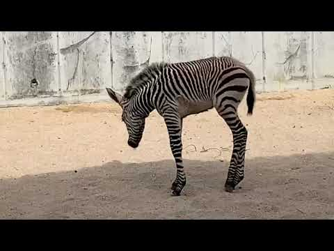Zebra Foal at Disney's Animal Kingdom