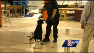 Bomb Sniffing Dogs Being Trained To Protect Boston Marathon