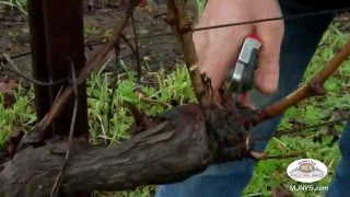 Michael J Neal Grape Vine Pruning Demo