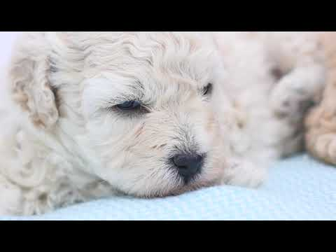 Moodle Puppies